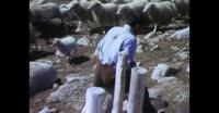 Sheep shearing in Southern Greenland 1
